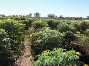 img cultivo de mandioca
